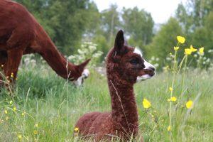 alpacka-barn