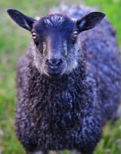 Glotlands sheep selfie